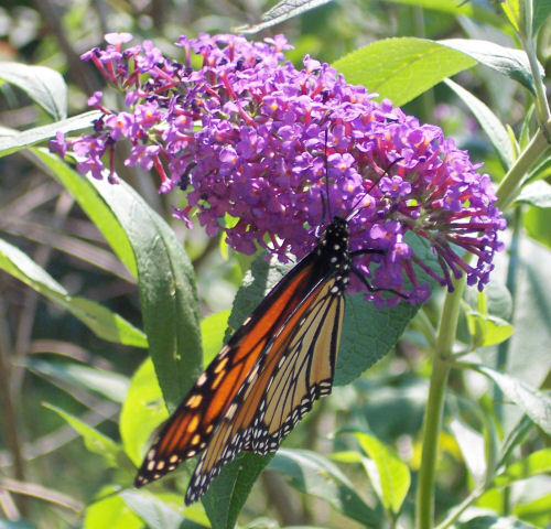 Monarch on Lilac Flowers
