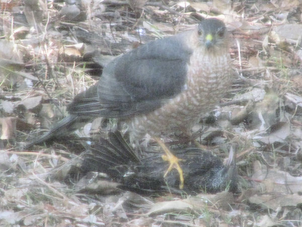 Feasting Falcon